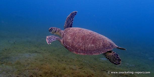 Tortue verte dans la baie de Malendure, en Guadeloupe