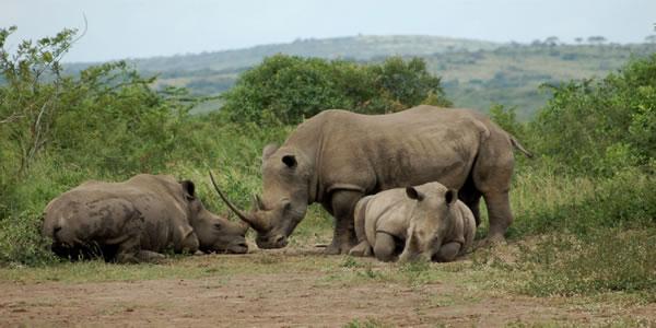 Hluhluwe Imfolozi rhino blanc modif